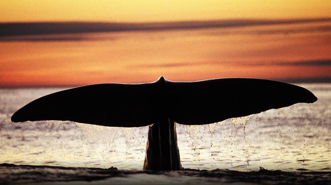 Sperm Whale 003B - Whale Safari Andenes Q40