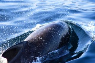 Grindhval - Hvalsafari Andenes - Whalesafari Andenes
