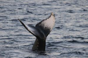 Knølhvaler - Hvalsafari Andenes - Whalesafari Andenes