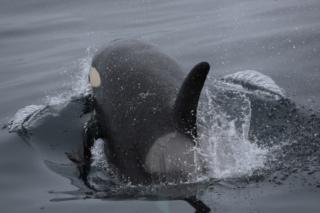 Spekkhugger - Hvalsafari Andenes - Whalesafari Andenes