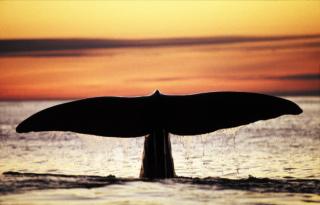 Spermhval - Hvalsafari Andenes - Whalesafari Andenes